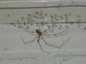 Daddy-long-legs spiders