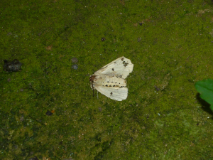 Which Ermine moth is this?