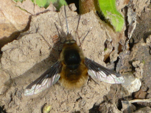 Bee Fly