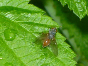 Which fly is this?