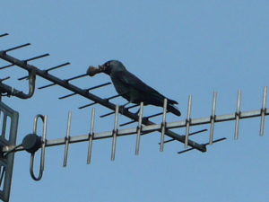 Jackdaw with nesting material