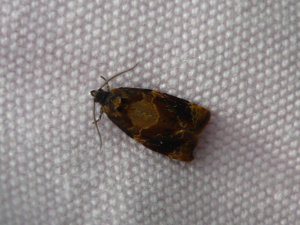 Which Tortrix moth is this?