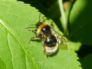 Is this a cuckoo bumblebee?