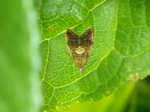 Unknown tortrix moth