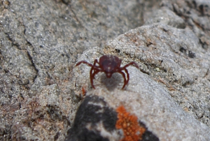 Red tick - Montagu WCape