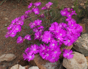 Large smiley lampranthus - Montagu WCape