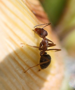 Aphid-tending ant - Montagu WCape