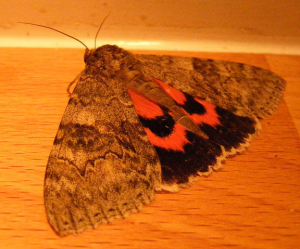 Large Red Underwing moth