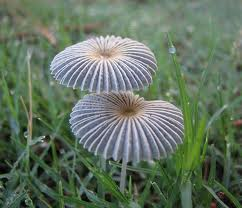 little japanese umbrella (mushroom) (biodiversity0