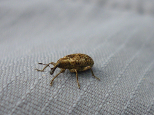 Beetle or weevil ?