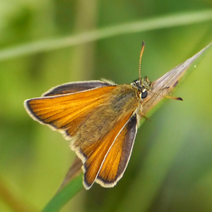 Essex Skipper?
