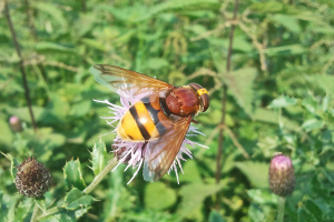 Volucella zonaria taken with mobile phone