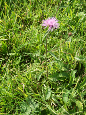 Common or greater Knapweed?