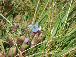 Blue butterfly on thistles