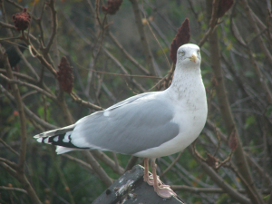 Herring Gull in winter plumage