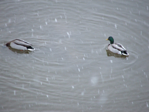 Mallards in the snow