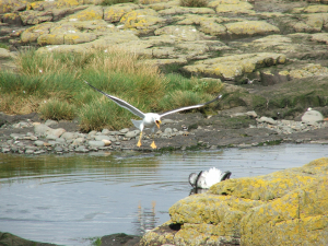 Lesser Black-backed Gull attacking Fulmar