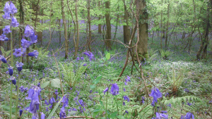 (Native) bluebells in the woods?