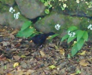 Male blackbird foraging in leaves