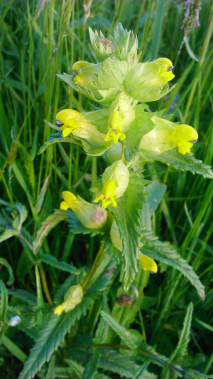 Yellow rattle in a meadow