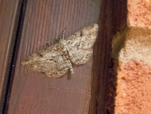 grey-brown moth
