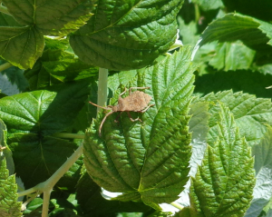 Shield Bug?