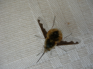 Bee in the conservatory?