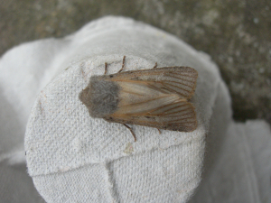 unexpected moth in moth trap