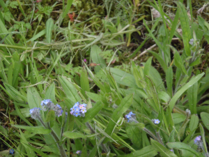 Field forgetmenot