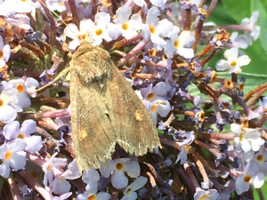 Moth for ID