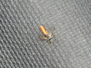 Unknown fly/wasp?