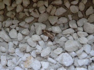 brown house moth?