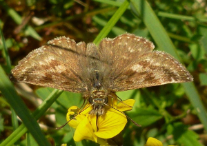 Dingy skipper?