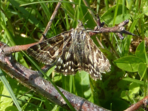 Grizzled skipper or day-flying moth