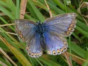Common blue female with worn wings