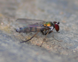 very small colourful fly