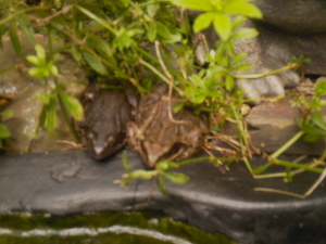 2 frogs on the edge of the pond