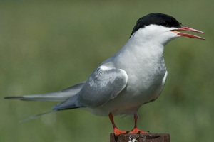 Arctic tern with damaged beak