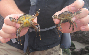 Male and female shore crabs