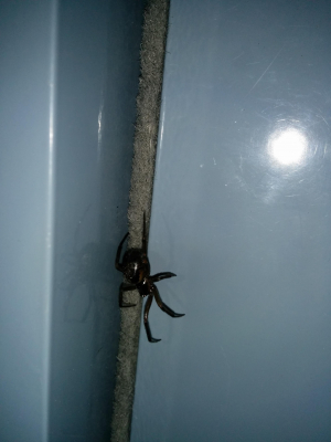 spider, false widow?