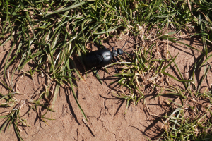 Oil-Beetle