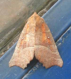 Red-Brown moth