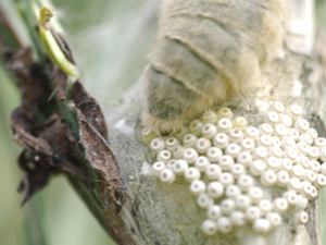 close up egg laying