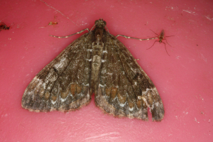 Unknown Carpet-like Moth