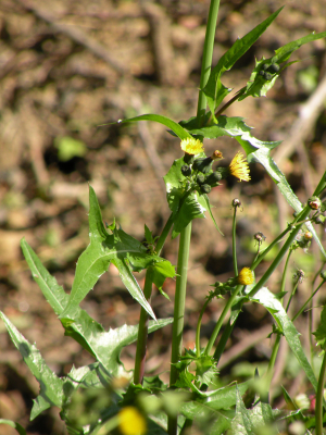 Smooth sow-thistle (Sonchus oleraceus)