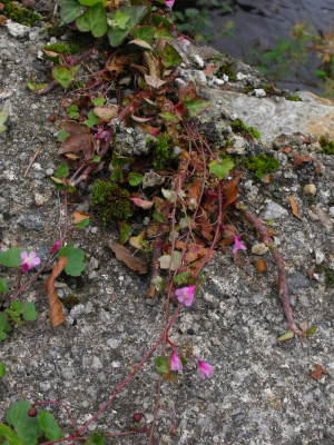 Pink Ivy-leaved Toadflax