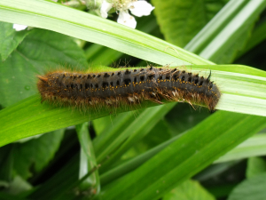 Drinker Caterpillar