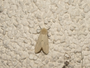 Buff Ermine  (light form)