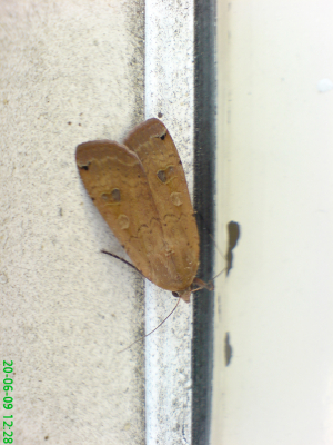 Yellow Underwing?