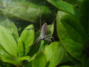 Nursery-web Spider